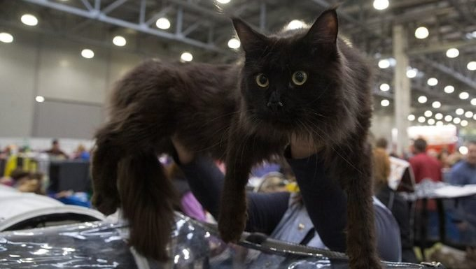 cat being held up at show