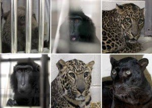 Zanesville animals to be returned to residence? Here's how to help protect them
