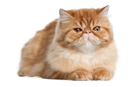 Short Haired Ginger Cat Breed