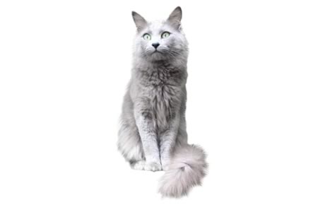 Nebelung Cat Breed Information Pictures Characteristics