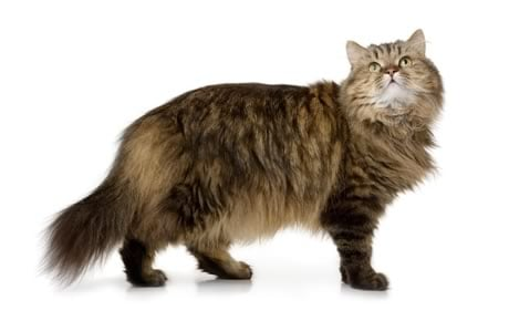 norwegian forest cat breed information pictures characteristics