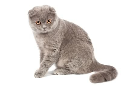 scottish fold cat breed information pictures characteristics facts
