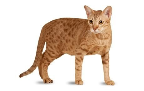 ocicat cat breed information pictures characteristics facts