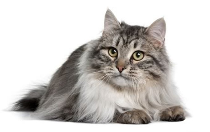 13-siberian-cat-breed