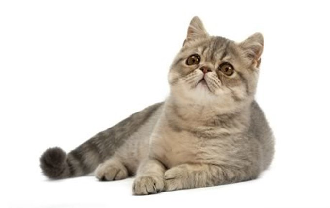 14-exotic-cat-breed