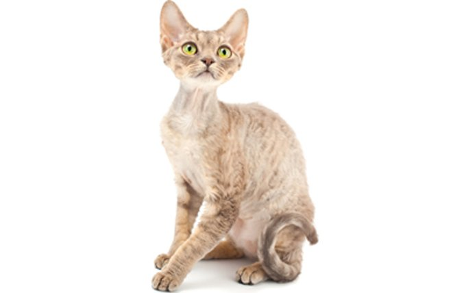 24-devon-rex-cat-breed-profile