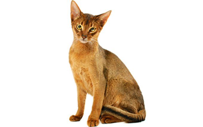 6-Abyssinian-cat-breed