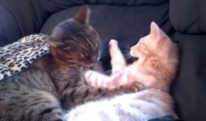 Cats Engage In Heavy Petting [VIDEO]