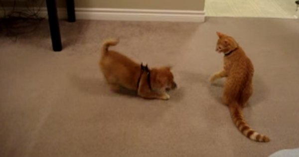 Cat Meets Dog Cattime