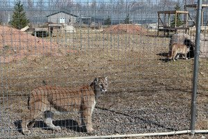 Big cat legislation gets a boost