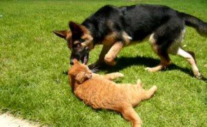 Cat Plays With German Shepherd Pup [VIDEO]