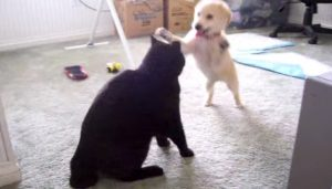 Spooky The 11-Year-Old Black Cat VS. Golden Puppy [VIDEO]