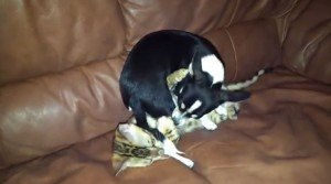 Chihuahua And Kitten Play