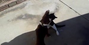 Wrestler Cat And Dachshund Love Battle [VIDEO]