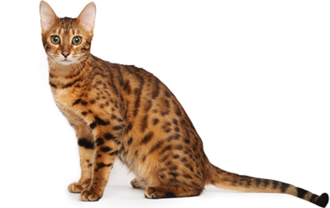bengal-cat-breed-picture