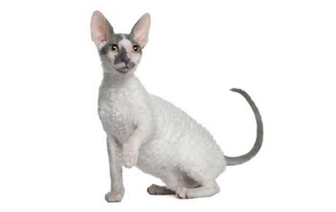 cornish-rex-cat-breed