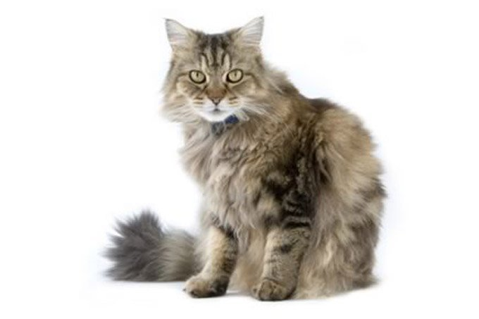 ragamuffin-cat