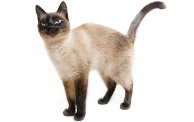 siamese-cat-breed