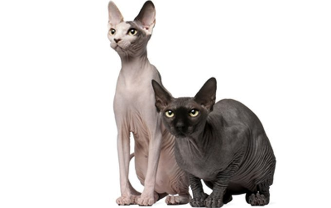 sphynx-cat-breed-profile