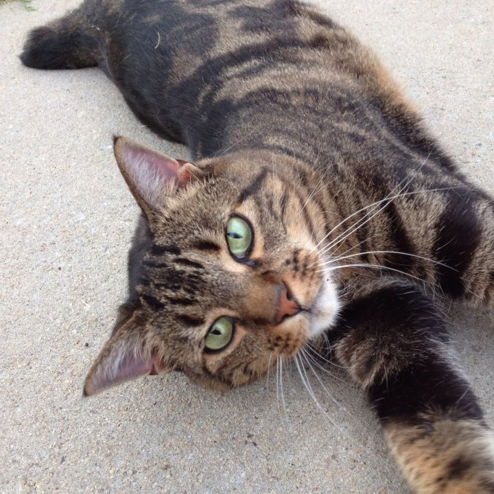 white and brown tabby cat