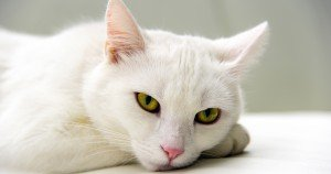 Pet Cancer Awareness Month: Can Sunlight Give My White Cat Cancer?