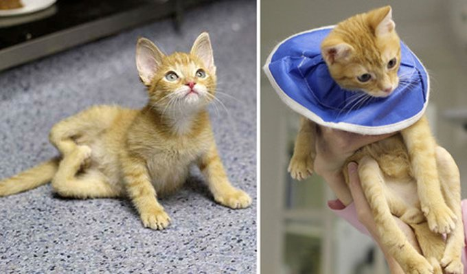 "Stockings rear legs were twisted like a pretzel, resembling a ""W"" (left); the cat after surgery with straightened legs. (Photo credit: Tree House Humane Society)"