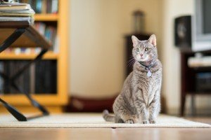 Teach Your Cat To Sit