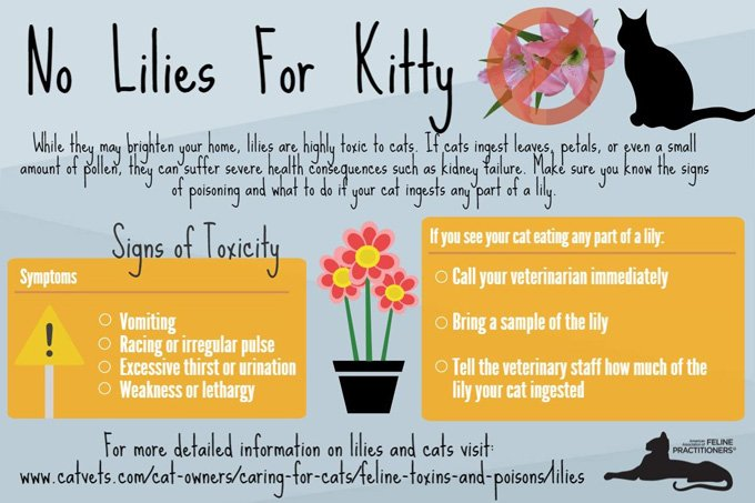 Lilies-toxic-to-cats