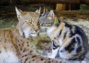 Inseparable: Lynx And Kitten Become Best Friends