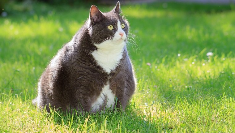 Slight obese, or fat, pussy cat outside in the sunny garden with fresh green grass in spring in the Netherlands