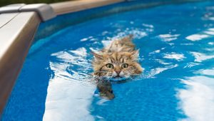 Top 10 Cat Breeds Who Love Water