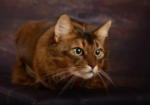 Anxiety And Compulsive Disorders In Cats