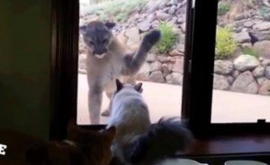 He's No Scaredy Cat: Fearless House Cat Meets Mountain Lion [VIDEO]