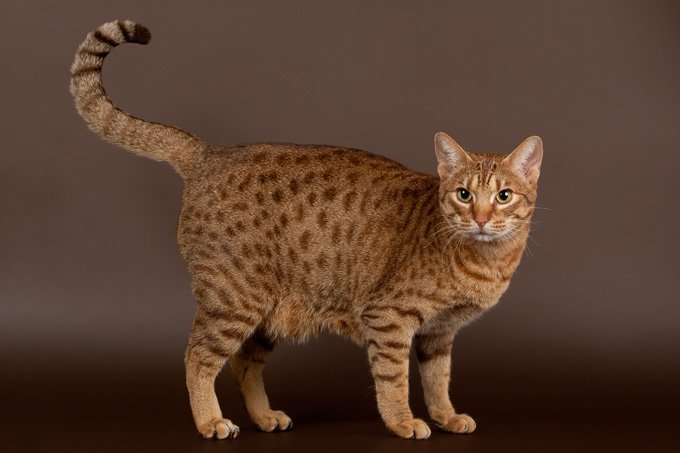 meet the ocicat the cat that thinks it s a dog cattime