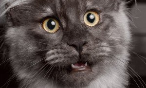 The Cat's Meow: Do You Know Why Cats Meow?