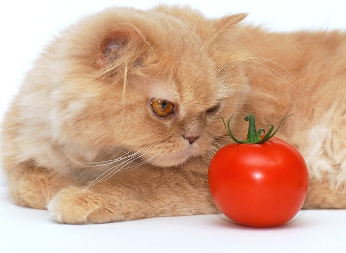 vegan-cat-diet-2