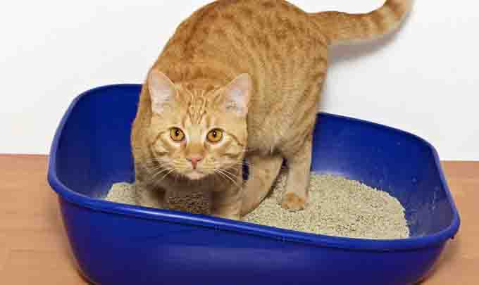 cat in litter box filled with kitty litter