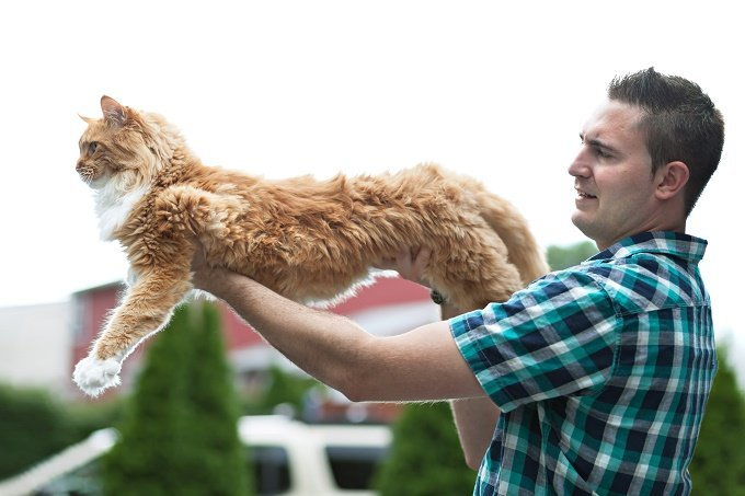 a man holds a fully stretched out orange maine coon cat