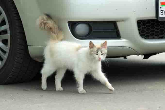 White cat walks past a white car. She rubs her tail against the bumper.