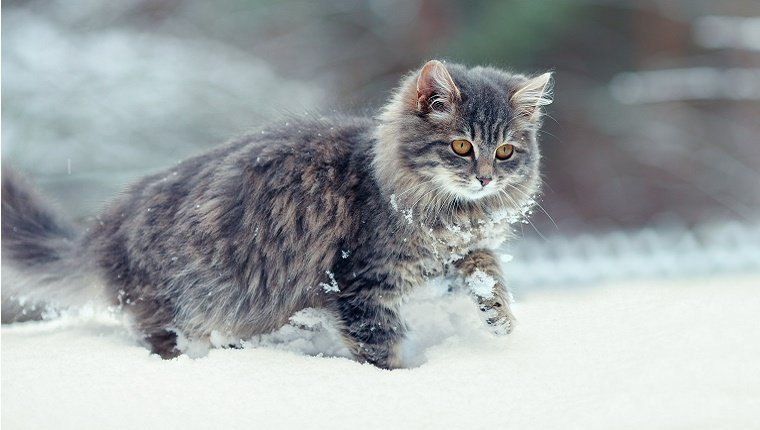 A cat with long hair walks through snow.