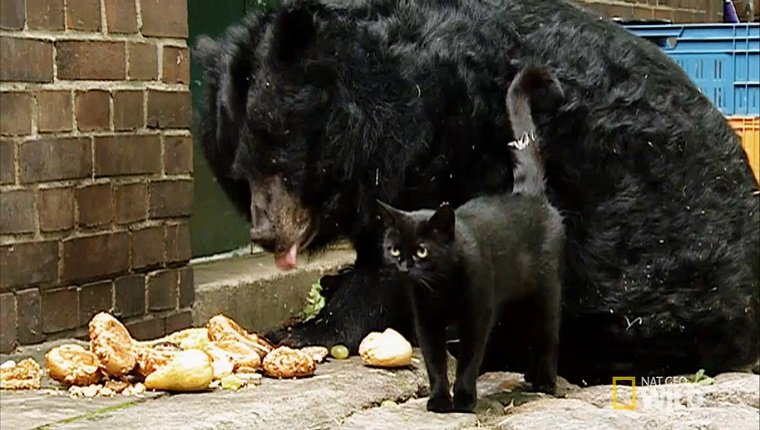A black cat stands in front of a bear while she eats her food.