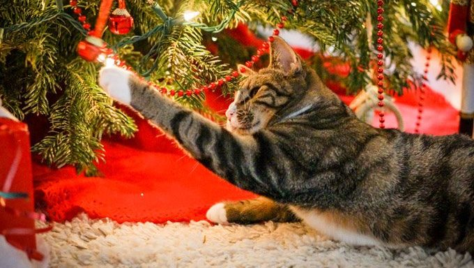 cat reaching for light on christmas tree