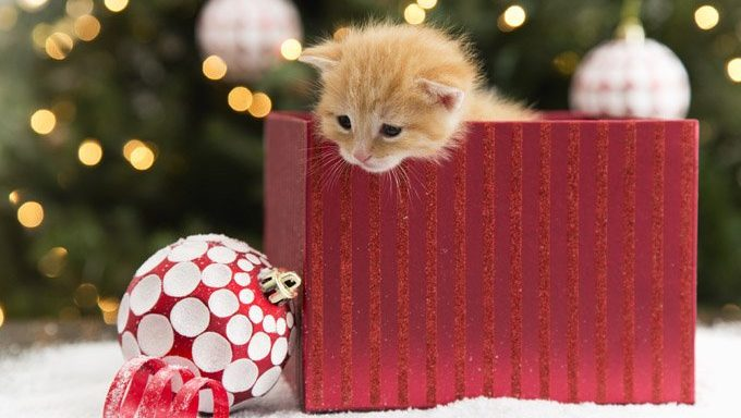 kitten in christmas present box