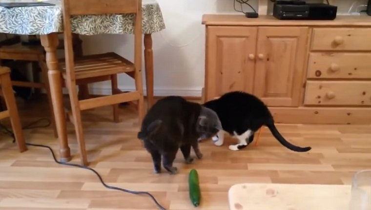 Two cats stand at a food bowl. One turns around and looks anxiously at a cucumber on the ground.