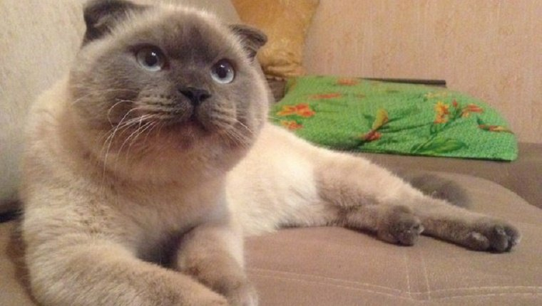 A Scottish Fold lies on a couch, looking alert.