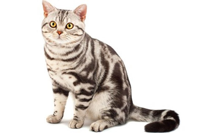 Which Cat Breeds Are Most Docile