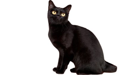 Bombay-cat-breed
