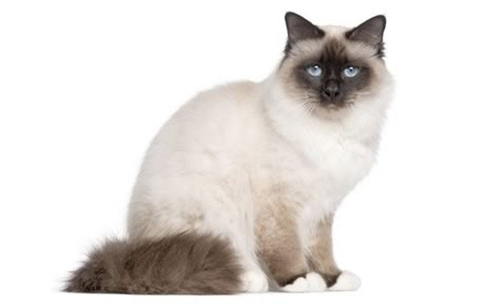 birman-cat-breed