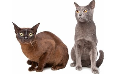 Top 17 Least Shedding Cat Breeds Cattime