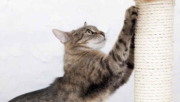 A brown and black house cat scratches at a scratching post.